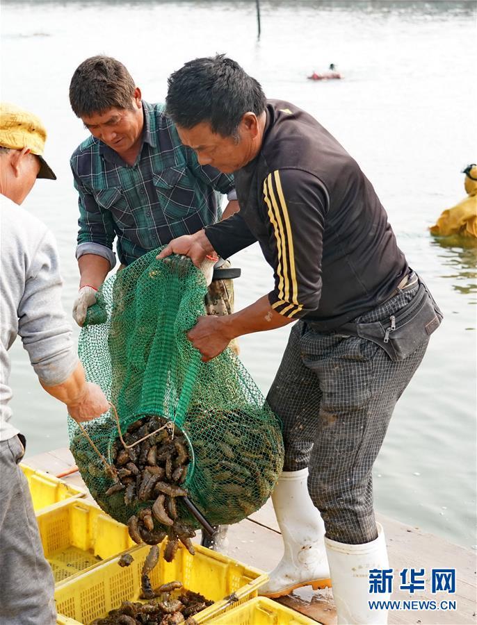 河北乐亭:收获海参