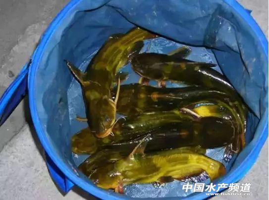 大量新鱼上市,黄颡鱼最高跌1.5元/斤!