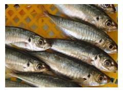 求购池鱼,池鱼干,别名浪鱼