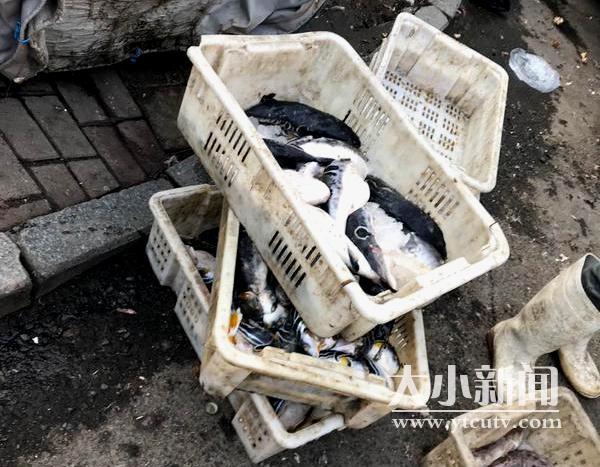 迅速出击!市场监管执法人员查获待售河豚鱼30余斤