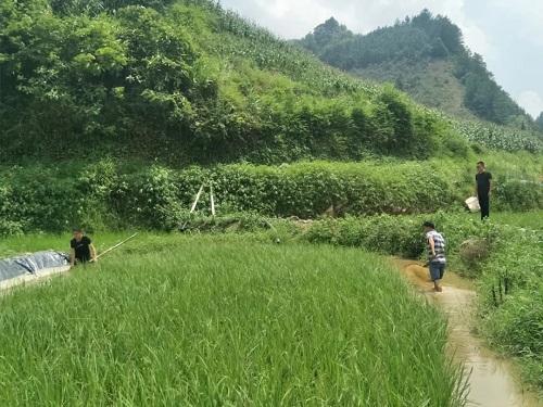 广西河池市巴马那勤:推行稻+鱼种养模式 实现粮渔共赢发展路