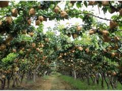 原产自日本,一个最高20元,农民表示不赚钱,消费者抱怨假货多