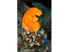 金黄色多果海鞘,又名:黄牛心脏、金嘴、墨汁斑点,海鞘